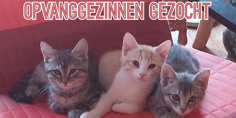 Opvanggezinnen voor kittens gezocht