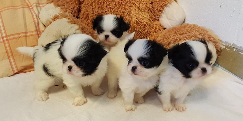 Japanse Chin puppy's
