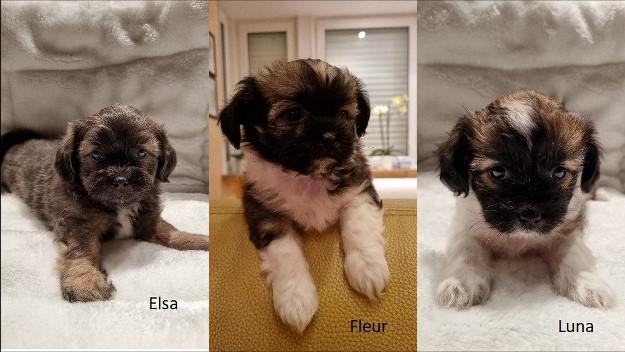 teefjes Fleur, Luna, Elsa kruising Shih Tzu